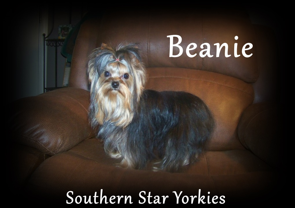 Southern Star Yorkies Traditional & Biewer Yorkshire Terrier Puppies