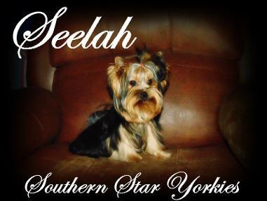 Southern Star Yorkies